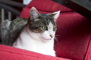 Chats à l'adoption